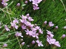 Silene acaulis - Iarba rosioara. Pink flowers in Bucegi Mountains, detail Stock Images