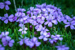 Silene acaulis - small mountain purple plant Royalty Free Stock Photo