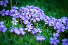 Silene acaulis - small mountain purple plant Stock Image