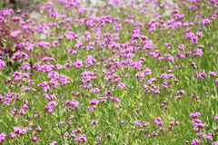 Silene armeria Royalty Free Stock Photos