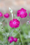 Silene coronaria (rose campion) flowers Stock Photo
