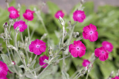 Silene coronaria (rose campion) flowers Stock Image