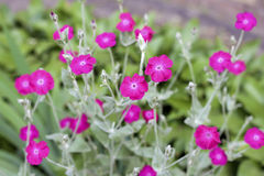 Silene coronaria (rose campion) flowers Stock Photos