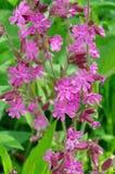Silene dioica花在庭院里 免版税库存图片