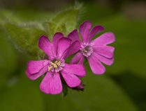 Silene dioica. Beautiful pink flowers stock photos