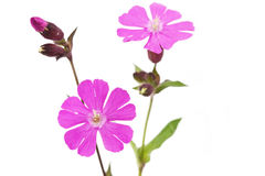 Silene dioica flower or red campionon Royalty Free Stock Image