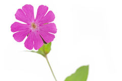 Silene dioica flower or red campionon Stock Image