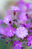 Silene dioica flower with shallow DOF Stock Photos