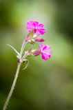 Silene dioica - Red campion Royalty Free Stock Images