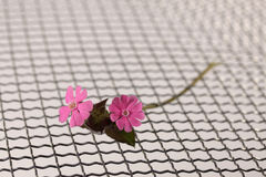 Silene dioica - Red Campion Stock Photography