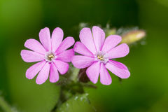 Silene dioica Royalty Free Stock Photography
