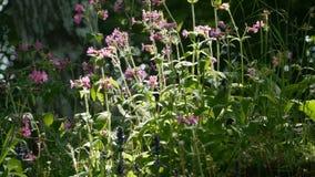 Silene för lösa blommor dioica lager videofilmer