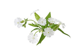 Silene latifolia Wildflower Royalty Free Stock Photography