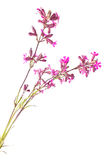 Silene viscaria Stock Images