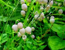 Silene vulgar & x28; Bexiga Campion& x29; no vale do parque nacional das flores, Uttarakhand, Índia Imagem de Stock Royalty Free
