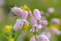 Silene Vulgaris. Bladder Campion flowers in the meadow under the warm spring sun Royalty Free Stock Photography