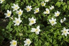 Silene vulgaris flowers  Royalty Free Stock Photography