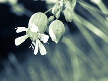 Silene Vulgaris - monochrome Stock Photography