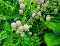 Silene vulgaris y x28; Vejiga Campion& x29; en el valle de las flores parque nacional, Uttarakhand, la India Imagen de archivo libre de regalías