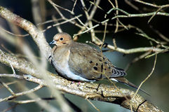 Silent Dove. Dove.What a Wonderfull sound that they make Stock Photography