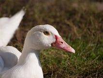Silent duck Cairina moschata Royalty Free Stock Photos