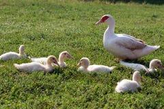 Silent duck (Cairina moschata) Stock Photos