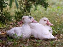 Silent duck (Cairina moschata) Stock Image