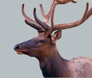 Silent Elk. An elk silently waits in a grey background Royalty Free Stock Photos