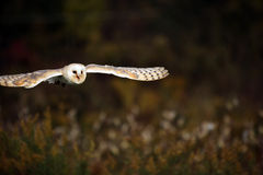 Silent Flight. Barn Owl in flight against a blurred background Stock Photo
