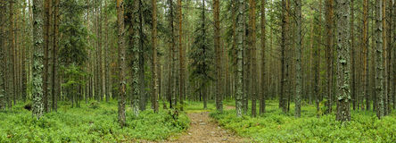 Silent forest. Panoramic view of autumn forest with path Royalty Free Stock Image