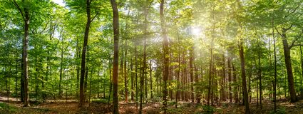 Free Silent Forest In Spring With Beautiful Bright Sun Rays Royalty Free Stock Images - 183675989