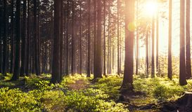 Silent Forest in spring with beautiful bright sun rays. Wanderlust Stock Photo