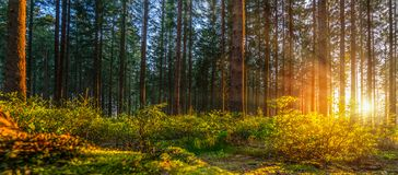 Silent Forest in spring with beautiful bright sun rays stock photos