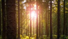 Silent Forest in spring with beautiful bright sun rays. Wanderlust Royalty Free Stock Photo