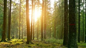 Silent Forest in spring with beautiful bright sun rays stock footage