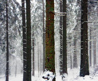 Silent forest. Trees in winter Stock Photos