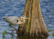 Silent Hunter. A single great heron stalks his prey Stock Image