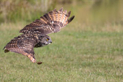 Silent hunter. Eagle owl gliding at ground level. Bird of prey s Royalty Free Stock Photography