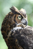 The silent Hunter Great Owl stock photography