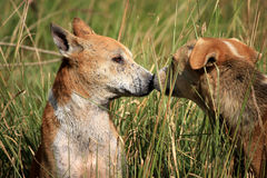 Silent love. first kiss. Dog kissing. Stock Photos