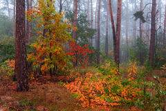 Silent mysterious autumn forest Royalty Free Stock Image