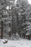 Silent sentinels of the forest waiting for Spring. Tall trees laden with heavy snow Stock Photography