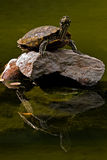 Silent song. Big turtle standing on a rock in the middle of lake stock photography