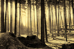 Silent Woods at Dawn. Sun coming through the trees at Dawn royalty free stock photography