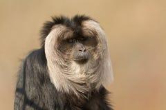 silenus macaca λιονταριών macaque που παρακολουθείται Στοκ εικόνες με δικαίωμα ελεύθερης χρήσης