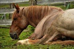 Silesia häst Arkivfoto
