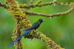 Silfide a coda lunga, colibrì con la coda blu lunga nell'habitat della natura, Perù fotografia stock libera da diritti