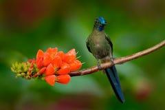 Silfo de cola larga, kingi de Aglaiocercus, colibrí raro de Colombia, pájaro gree-azul que se sienta en una flor anaranjada hermo Foto de archivo