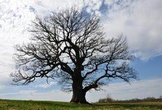 Silhoette большого дерева Стоковые Изображения RF