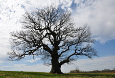 Silhoette of big tree. Silhoette of big oak tree Royalty Free Stock Images